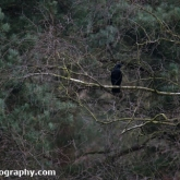 Carrion at Willingham Woods, Lincolnshire