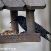 Big Garden Birdwatch - Starling