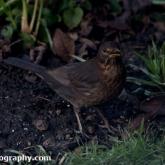 Big Garden Birdwatch - Blackbird
