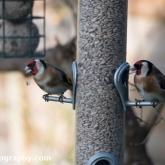 Big Garden Birdwatch - Goldfinch