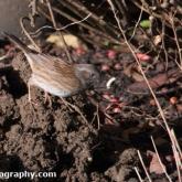Big Garden Birdwatch - Dunnock