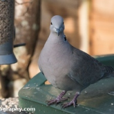Big Garden Birdwatch - Collared Dove