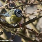 Big Garden Birdwatch - Blue tit