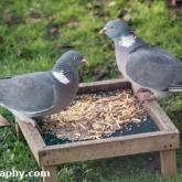 Big Garden Birdwatch - Woodpigeon