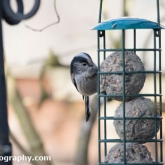 Big Garden Birdwatch - Long-tailed tit