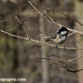 Big Garden Birdwatch - Coal tit