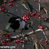 Big Garden Birdwatch - Magpie