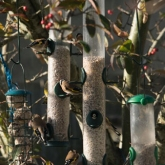 RSPB Big Garden Birdwatch 2016 - Goldfinch