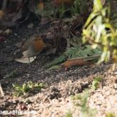 RSPB Big Garden Birdwatch 2016 - Robin