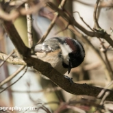 RSPB Big Garden Birdwatch 2016 - Coal Tit