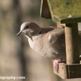 RSPB Big Garden Birdwatch 2016 - Collard Dove