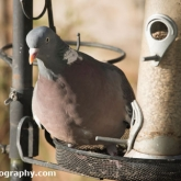 RSPB Big Garden Birdwatch 2016 - Woodpigeon