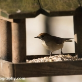 RSPB Big Garden Birdwatch 2016 - Blackcap