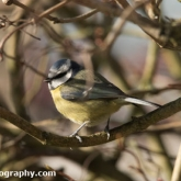 RSPB Big Garden Birdwatch 2016 - Blue tit