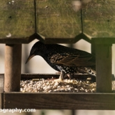 RSPB Big Garden Birdwatch 2016 - Starling
