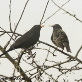 RSPB Big Garden Birdwatch - Blackbird & Starling