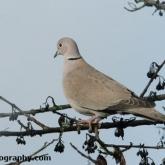 RSPB Big Garden Birdwatch - Collard Dove