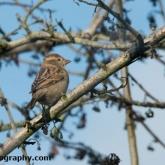 RSPB Big Garden Birdwatch - House Sparrow