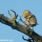 RSPB Big Garden Birdwatch - Siskin