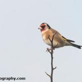 RSPB Big Garden Birdwatch - Goldfinch