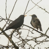RSPB Big Garden Birdwatch - Blackbird & Starling