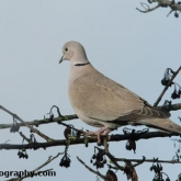 RSPB Big Garden Birdwatch - Collard Dove