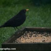 Big Garden Birdwatch 2018 - Blackbird