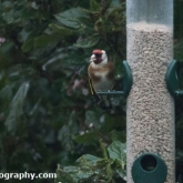 Big Garden Birdwatch 2018 - Goldfinch