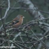 Big Garden Birdwatch 2018 - Chaffinch