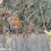RSPB Big Garden Birdwatch - Robin