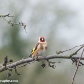 RSPB Big Garden Birdwatch - Goldfinch