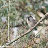 RSPB Big Garden Birdwatch - House Sparrow