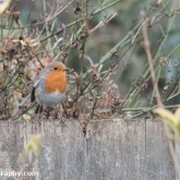 RSPB Big Garden Birdwatch - Robin