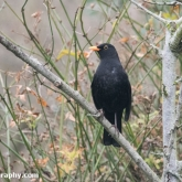 RSPB Big Garden Birdwatch - Blackbird