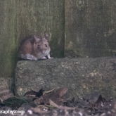 RSPB Big Garden Birdwatch - Field mouse (Apodemus sylvaticus)