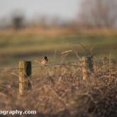 Blakehill Farm Nature Reserve - Stonechat