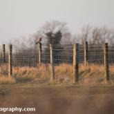 Blakehill Farm Nature Reserve - Kestrel