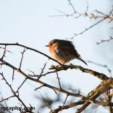 Blakehill Farm Nature Reserve - Robin