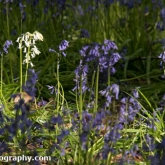 Bluebells at Badbury Clump, Oxfordshire