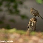 Brownsea Island - Robin
