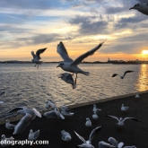 Poole Harbour - Black-headed Gulls