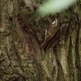 Brownsea Island - Treecreeper