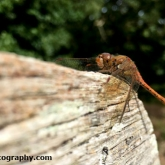 Brownsea Island - Common Darter