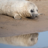 Grey Seal at Donna Nook Nature Reserve, Lincolnshire