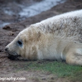Grey Seal at Donna Nook Nature Reserve, Lincolnshire - Playing with a stone