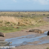 Grey Seals at Donna Nook Nature Reserve, Lincolnshire