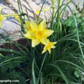Daffodil - New baby