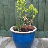 Martin's spurge in its new pot