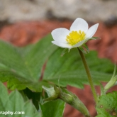 Strawberry plants are flowering