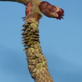 Hazel catkin and female flower